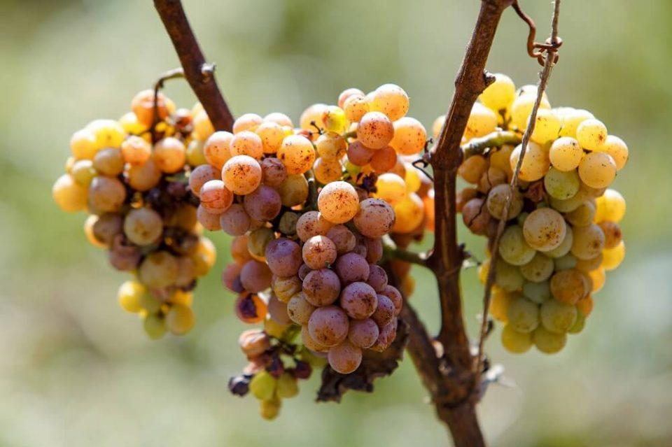 вино градник 4