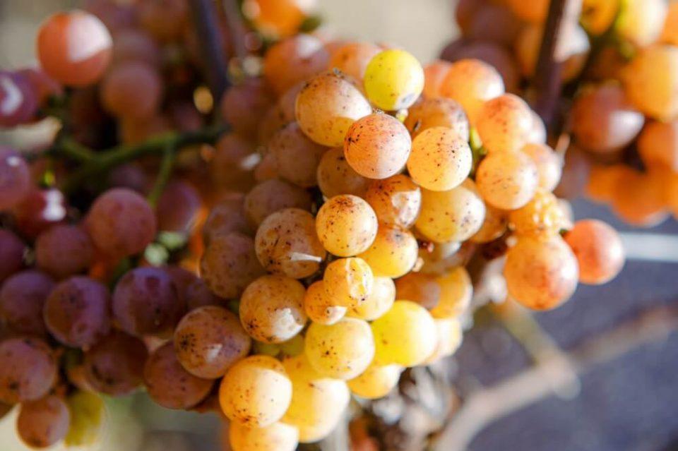 вино градник 6